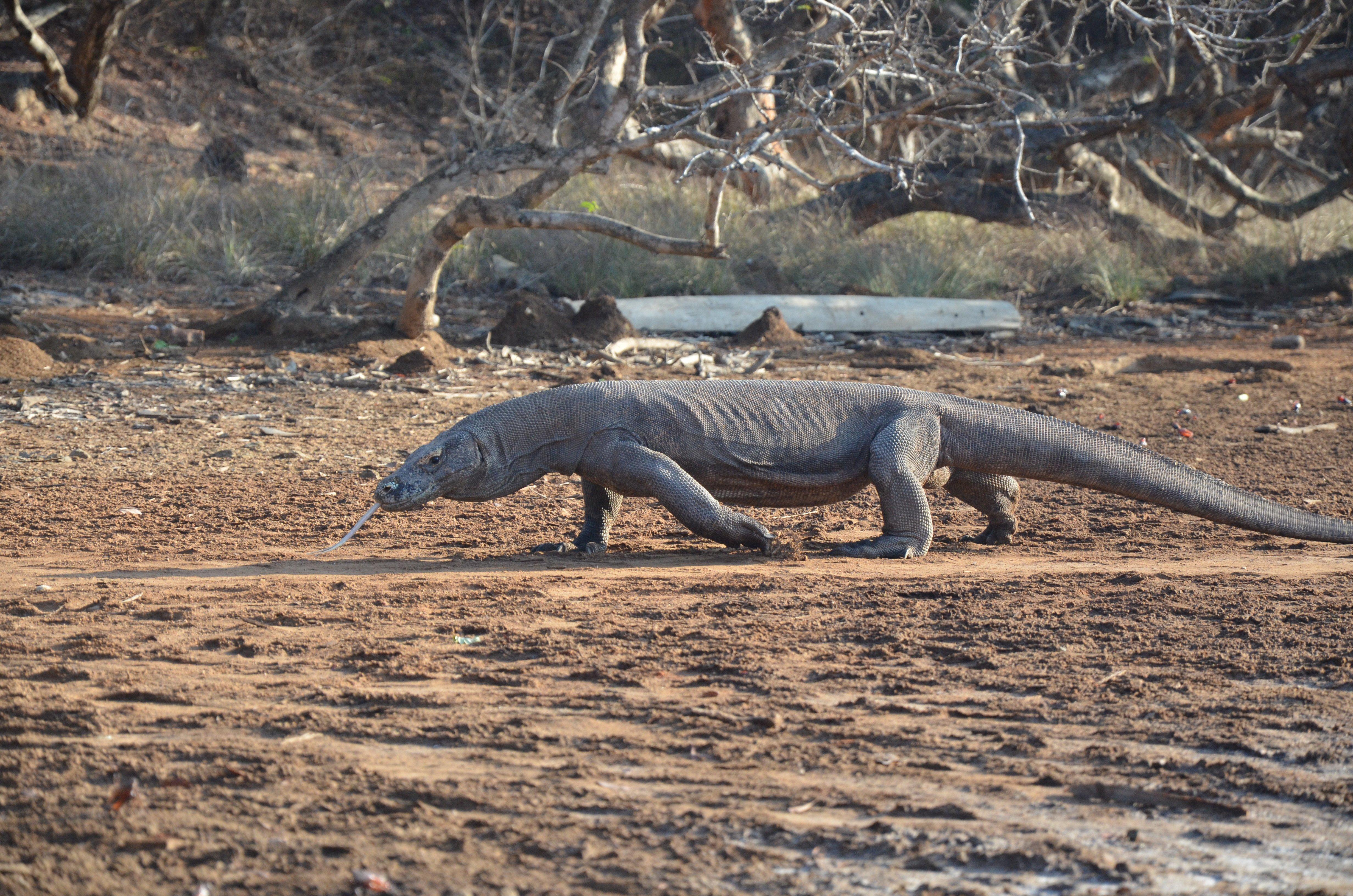 Komodo Waran bei Komodo Rinca Reise