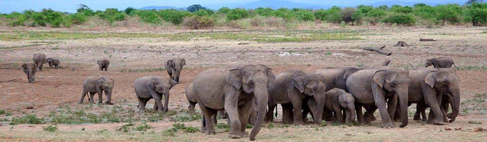 Sri Lanka Udawalawe Nationalpark Elefanten
