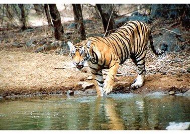 Indien Reise Ranthambore Tiger