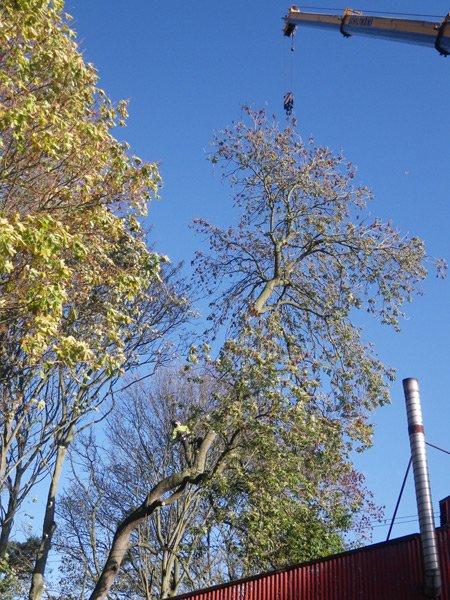 Crane dismantling of tree