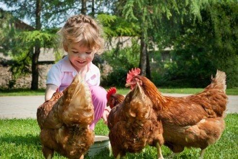 Allevamento galline