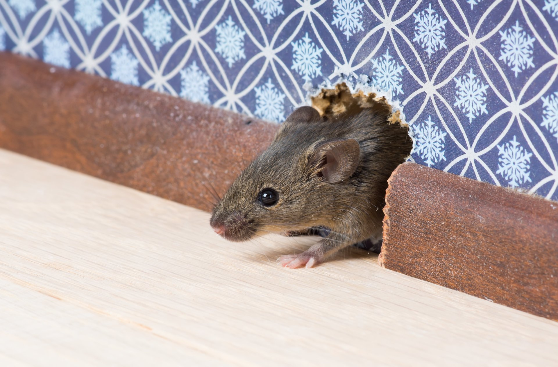 Ratice Can Invade Your Home Through Even The Tiniest Of Openings Once You Have A Mice Or Rat Problem It Be Very Tricky To Eliminate
