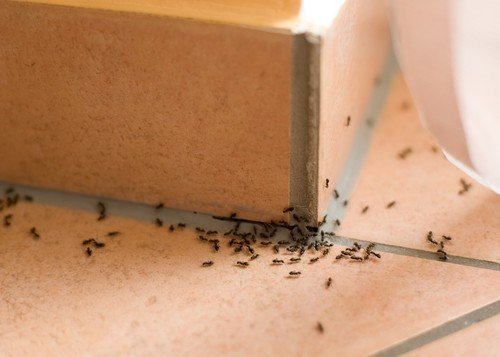 Awesome There Is Nothing More Irritating Than Having Ants In Your Kitchen And Home.  These Pesky Little Creatures Can Be Difficult To Manage And Get Rid Of  Through ...