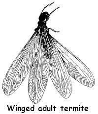 winged adult termite