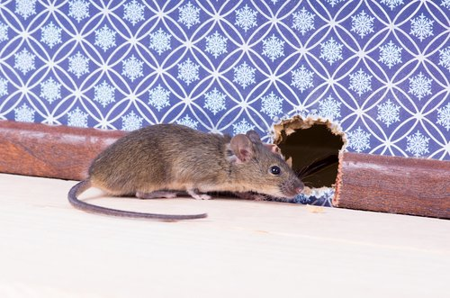 House Mouse Rodent