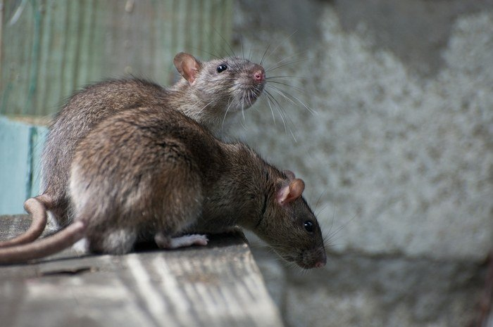The differences between mice and rats in lexington ky if you hear scurrying in the night have seen rodent droppings in your home or suspect an infestation of any kind it is time to act solutioingenieria Image collections