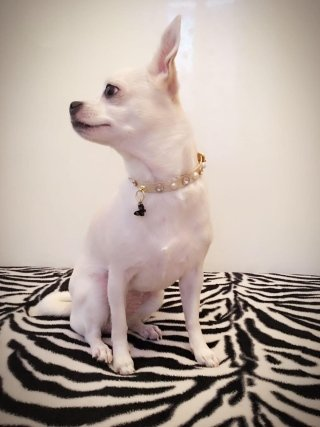 cane razza Chihuahua liscio