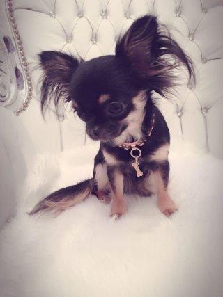 cane razza Chihuahua ruvido