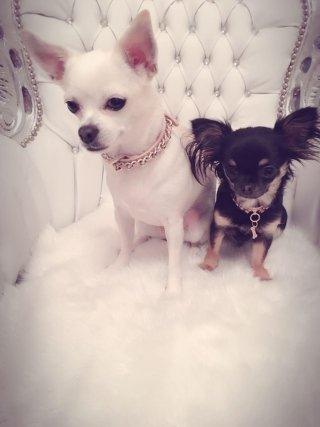 due cani di razza Chihuahua