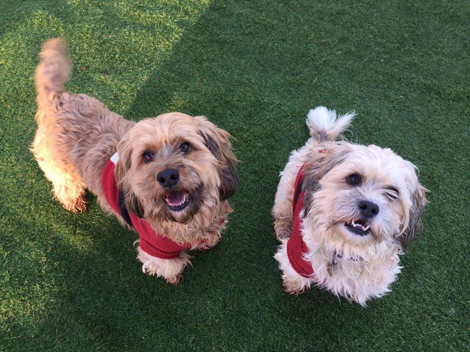 Smiling terriers in cute jumpers