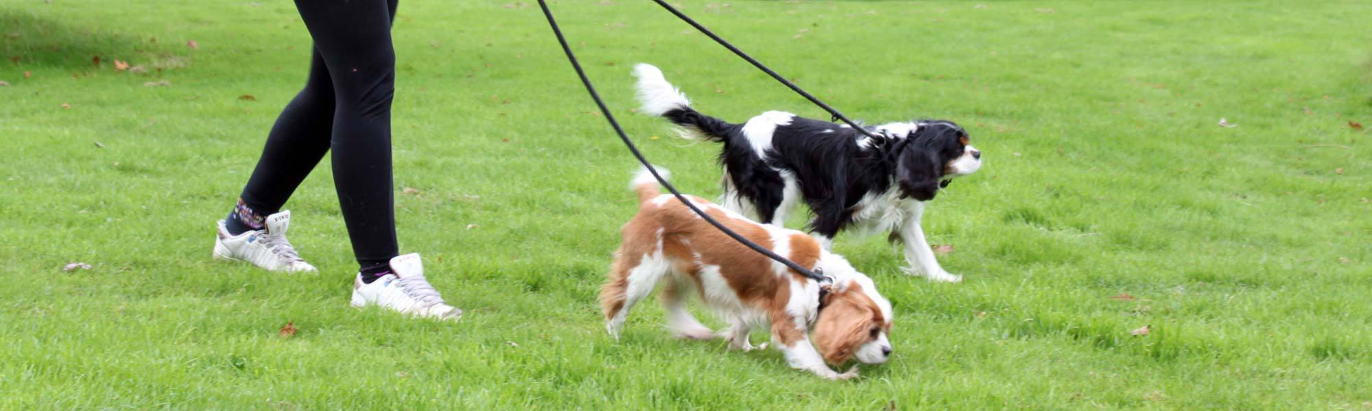Two dogs being walked