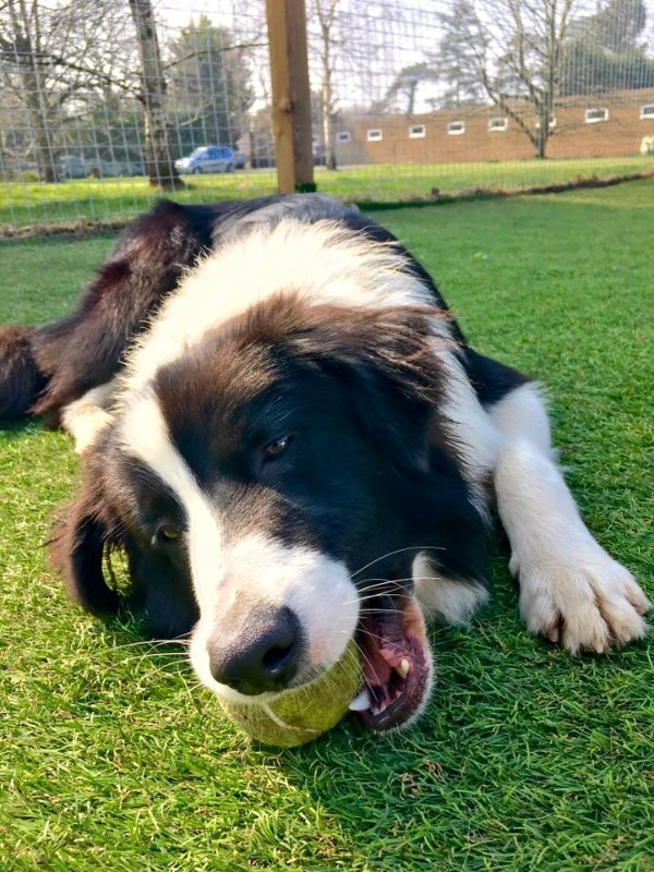 Border Collie Dog Playing With a toy at doggy day care