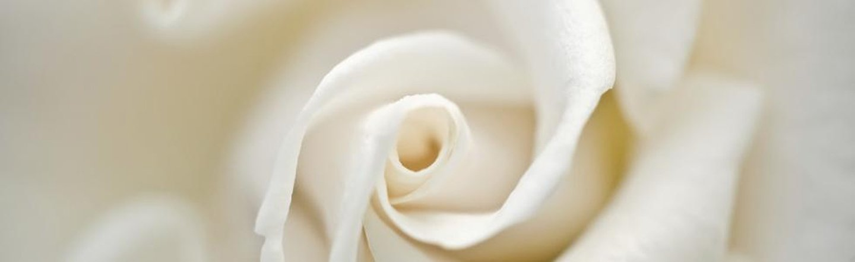 primo piano di rosa bianca