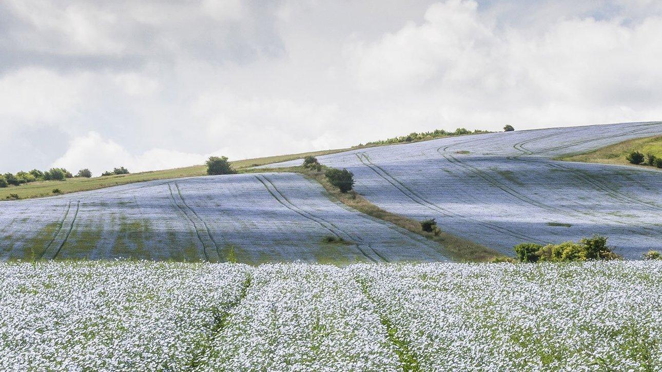 valle con fiori di lino
