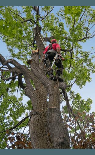 A tree surgeon climbing a tree