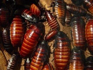 scarafaggi mocit