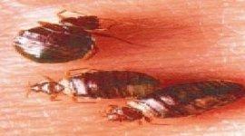 infestazione da cimici del letto