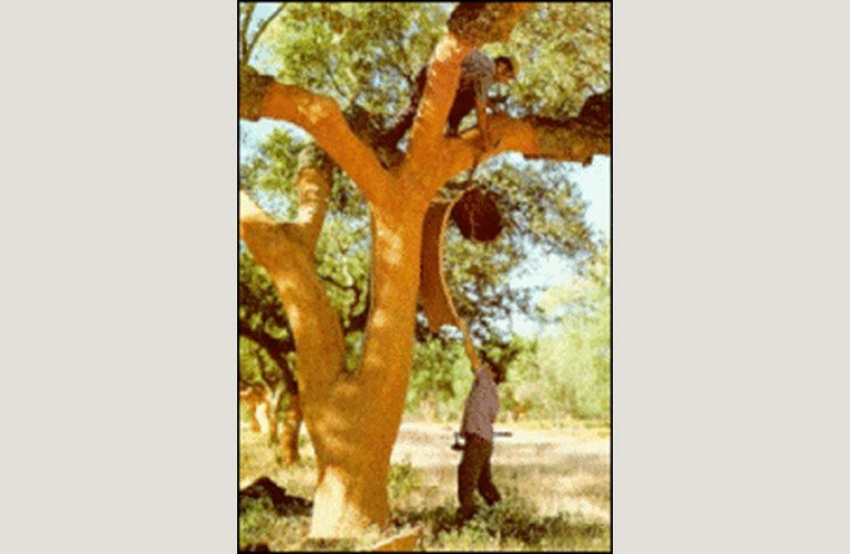 Queensland cork supplies tree cork oak