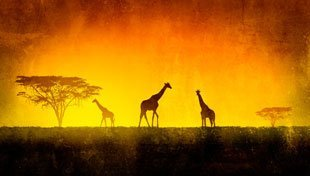 A painting of giraffes on the African Plain