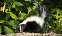 skunk by bush