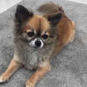 A pet sitting on a grey carpet