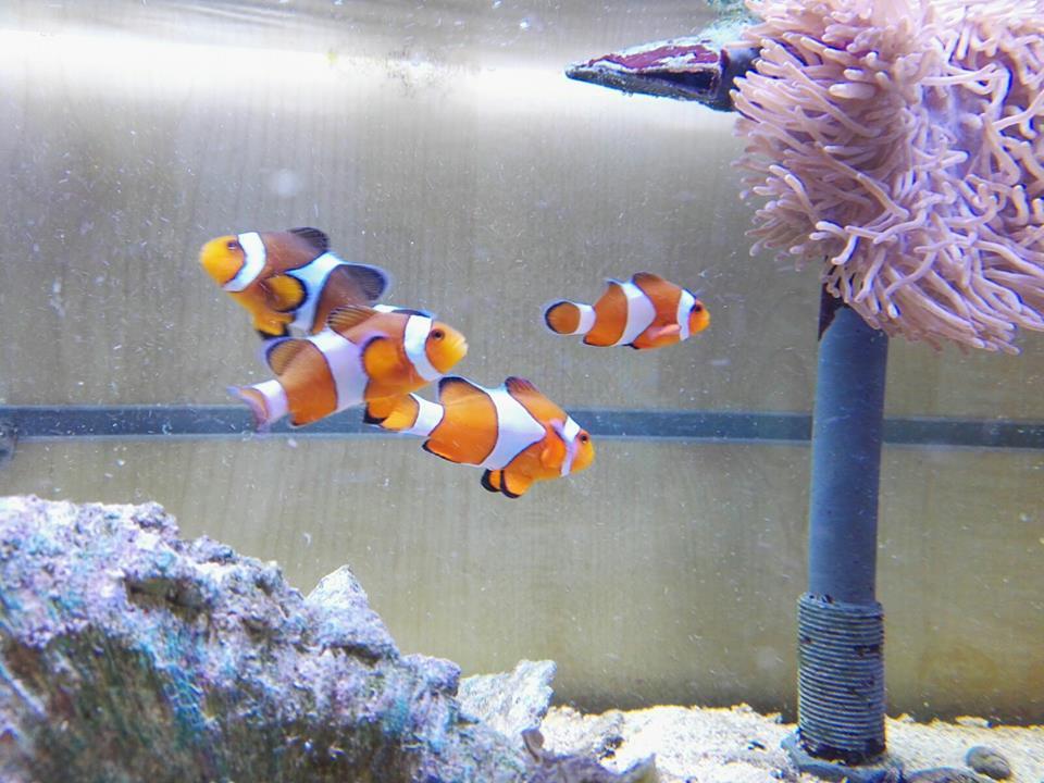 Acquario con anemoni e più pesci pagliaccio