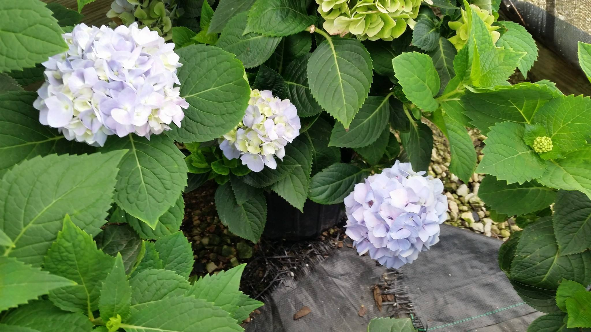 hydrangea on our farm