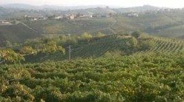 produzione ingrosso Chardonnay