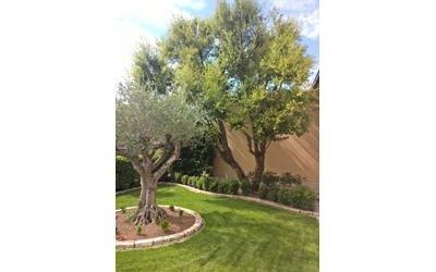 Cura olivi