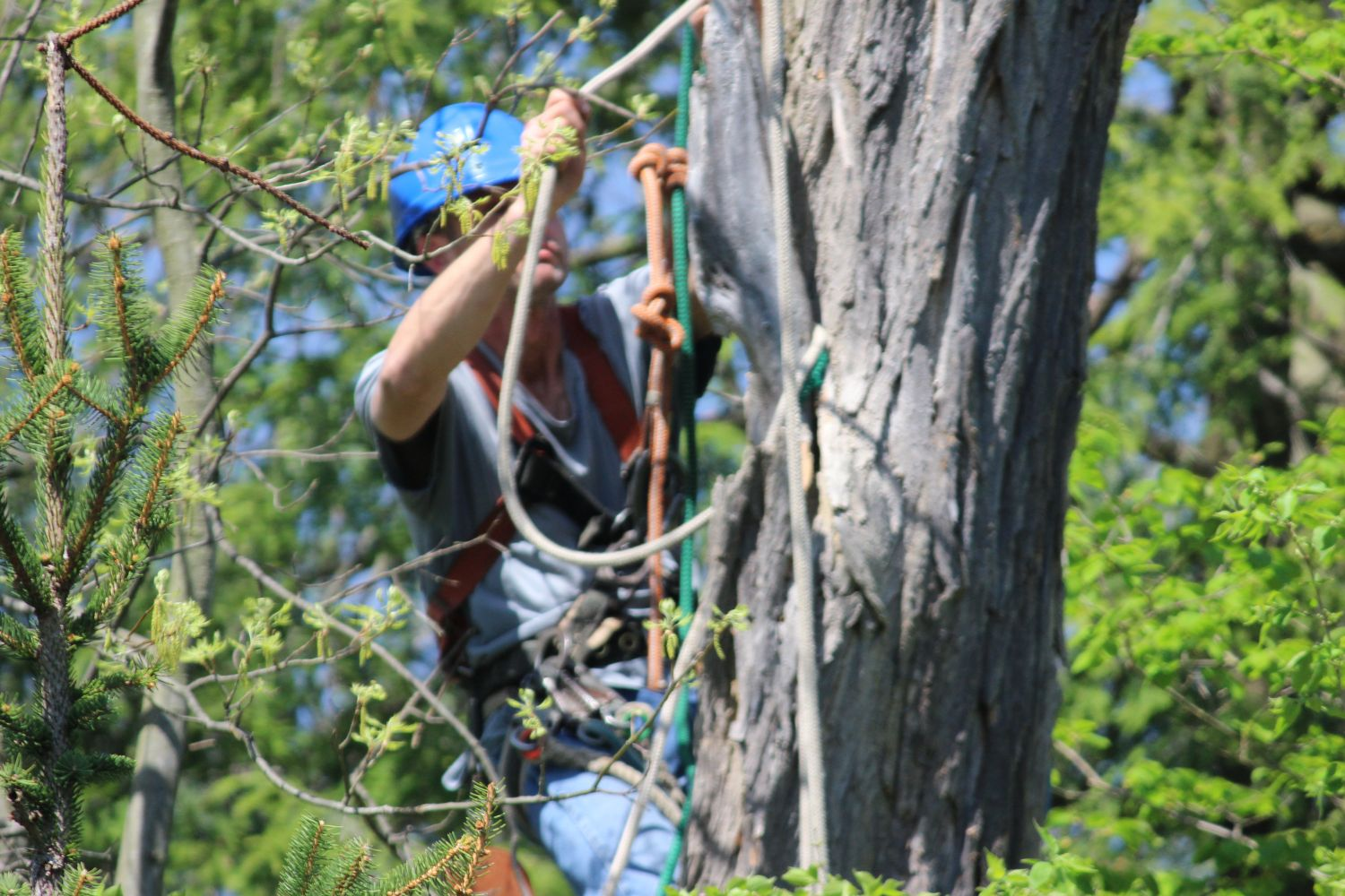 Employee working in a tree