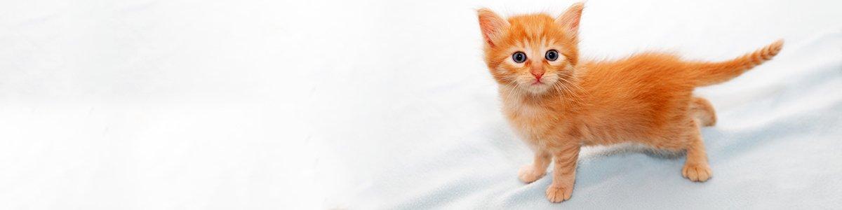 toucan pet centre ginger cat