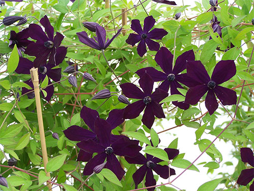 Victor Hugo flower