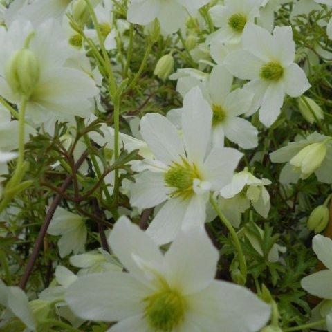 Early Sensation flower
