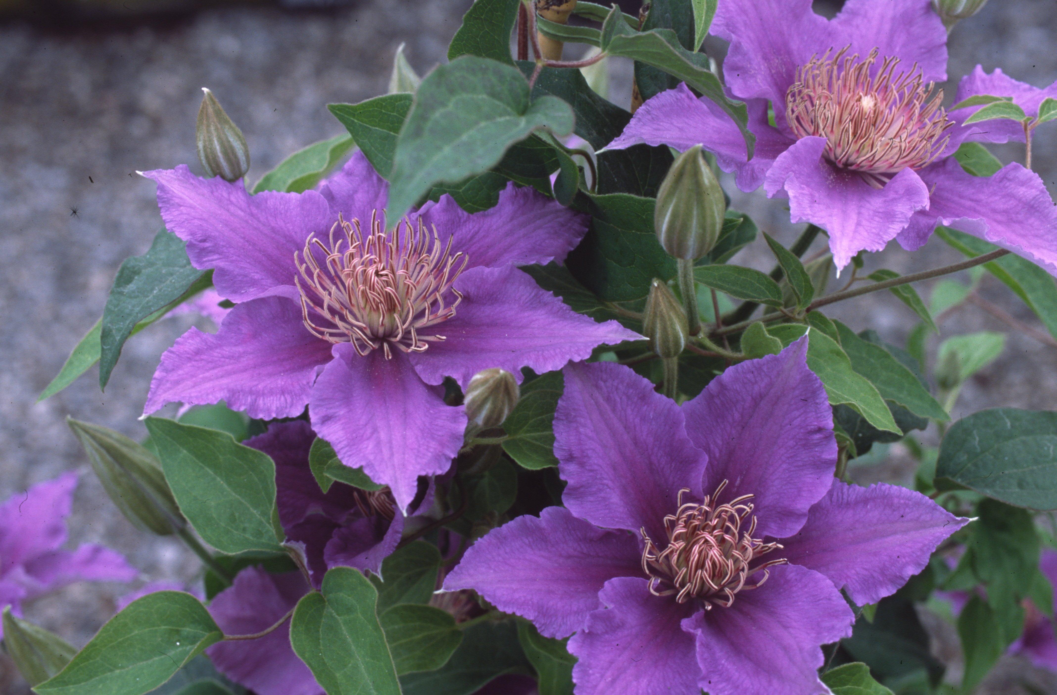 Alpina Helsingborg flower