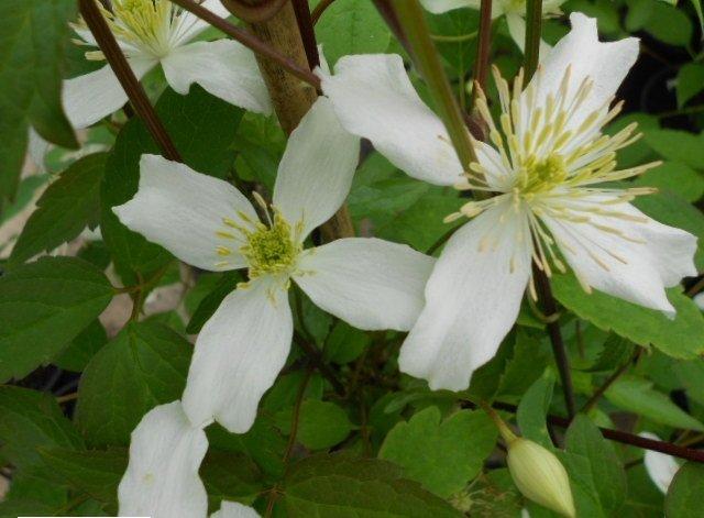 Montana Wilsonii flower