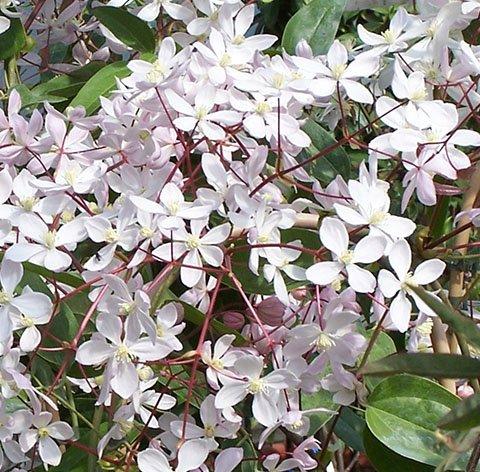 C.Armandii Appleblossom flower