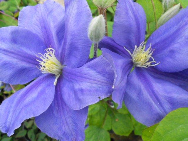 Fujimusume flower