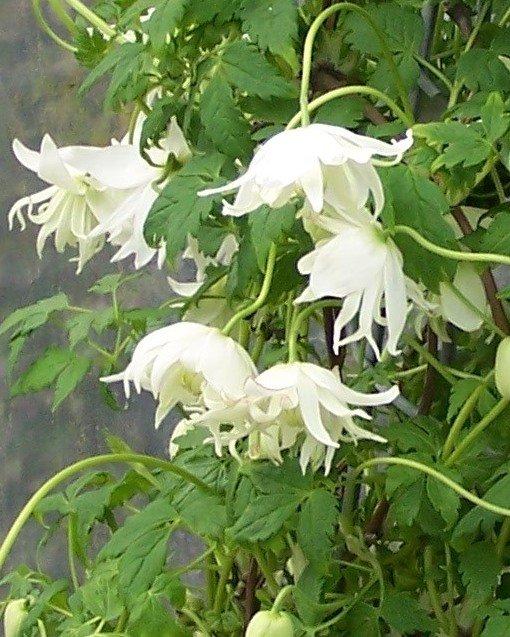 Macropetala Snowbird flower