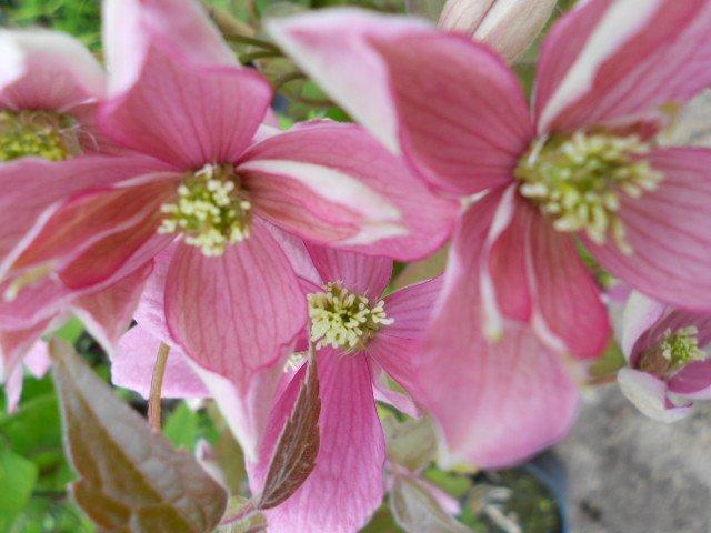 Montana Broughton Star flower