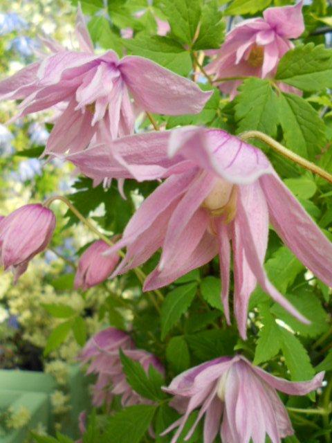 Macropetala Markhams Pink flower