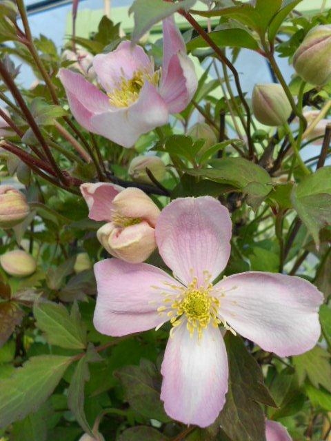 Montana Tetrarose flower