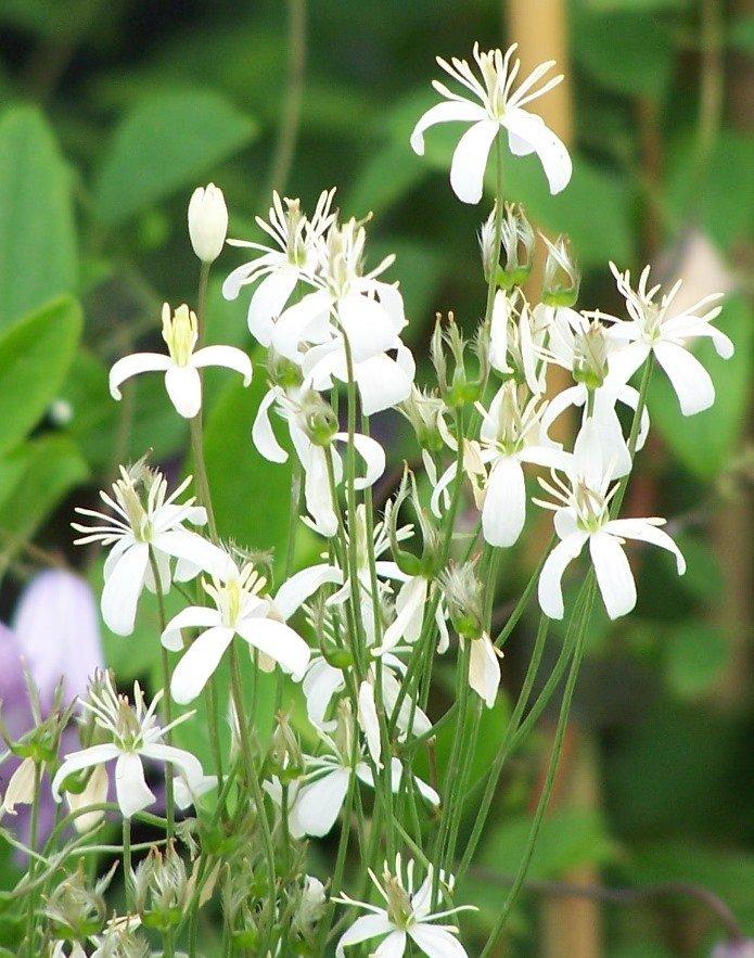 C. Recta purpurea flower