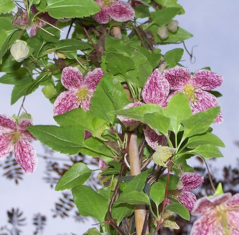 Cirrhosa Freckles flower