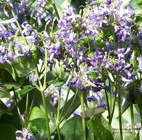 Heraclifolia Wyevale flower