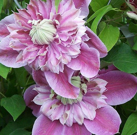 Jospehine flower