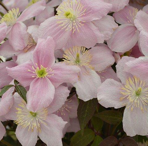 Montana Elizabeth flower