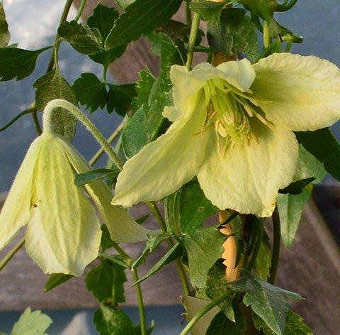 Cirrhosa Ourika Valley flower