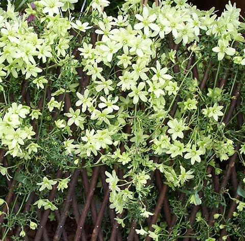 C. Pixie flowers