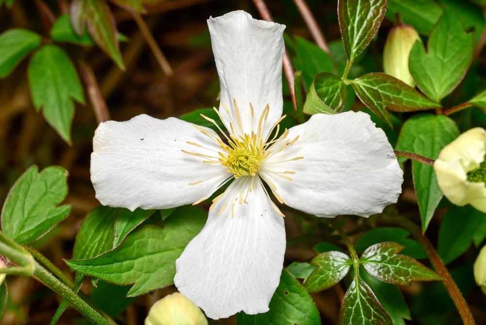 Montana Grandiflora flower