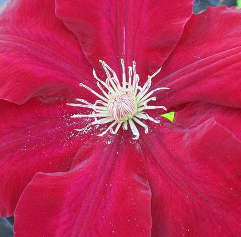 Rebbecca flower